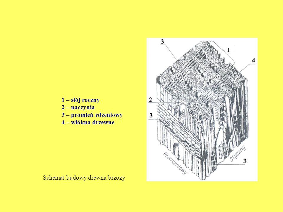 1 – słój roczny 2 – naczynia 3 – promień rdzeniowy 4 – włókna drzewne Schemat budowy drewna brzozy