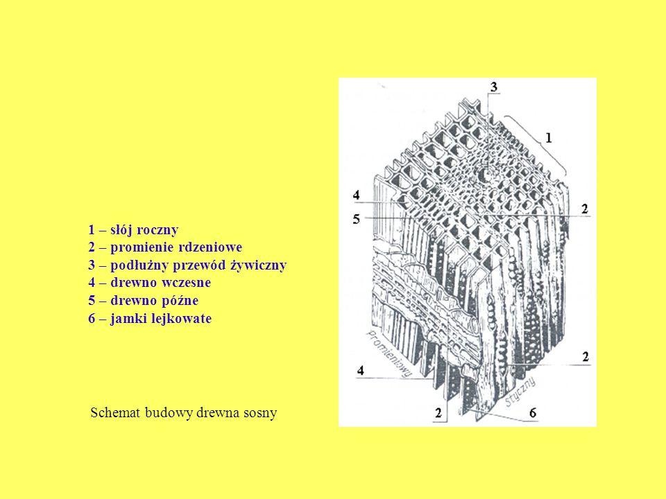 1 – słój roczny 2 – promienie rdzeniowe. 3 – podłużny przewód żywiczny. 4 – drewno wczesne. 5 – drewno późne.