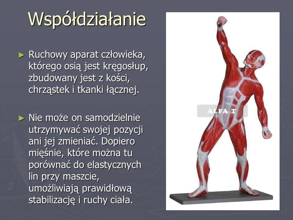 Współdziałanie Ruchowy aparat człowieka, którego osią jest kręgosłup, zbudowany jest z kości, chrząstek i tkanki łącznej.