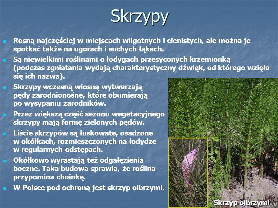 Skrzypy Rosną najczęściej w miejscach wilgotnych i cienistych, ale można je spotkać także na ugorach i suchych łąkach.