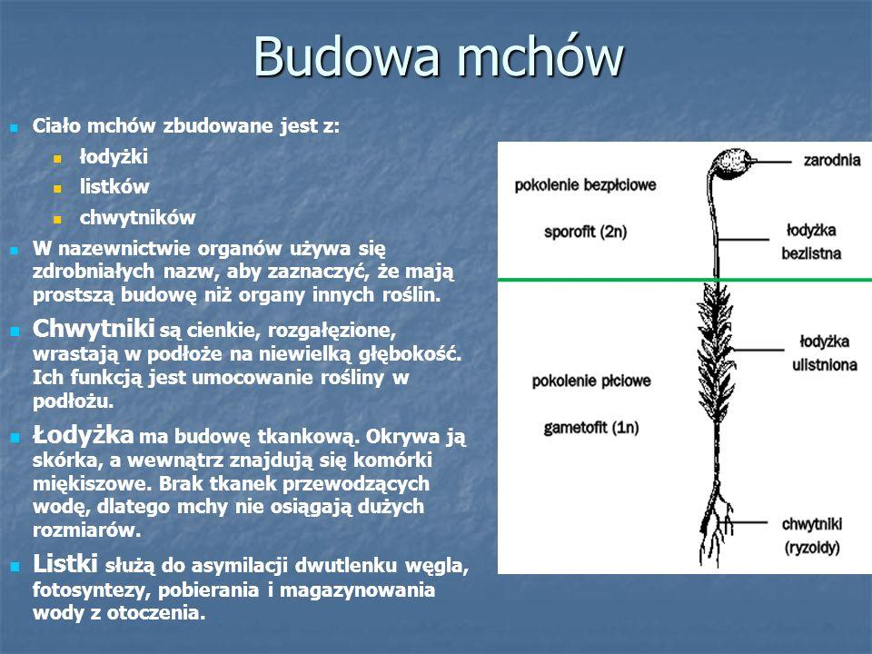 Budowa mchów Ciało mchów zbudowane jest z: łodyżki. listków. chwytników.