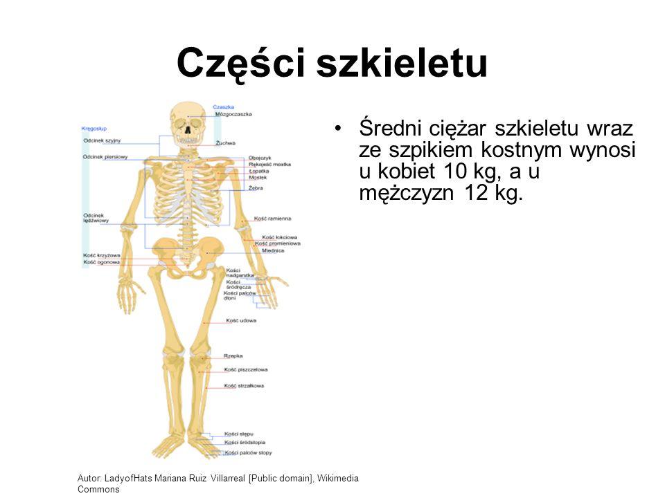 Części szkieletu Średni ciężar szkieletu wraz ze szpikiem kostnym wynosi u kobiet 10 kg, a u mężczyzn 12 kg.