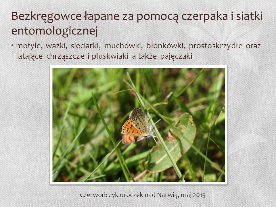 Bezkręgowce łapane za pomocą czerpaka i siatki entomologicznej