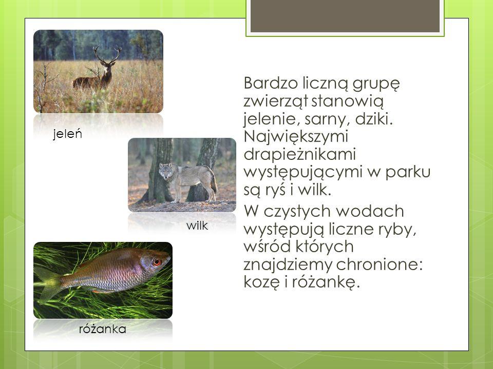 Bardzo liczną grupę zwierząt stanowią jelenie, sarny, dziki