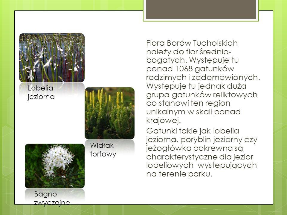 Flora Borów Tucholskich należy do flor średnio-bogatych