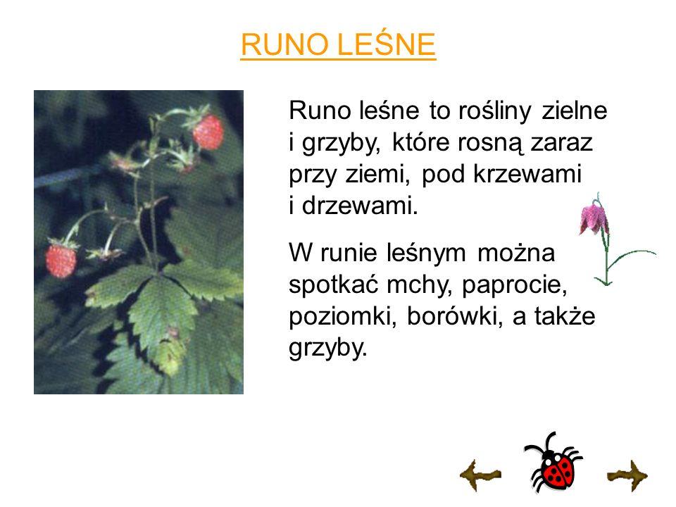 RUNO LEŚNE Runo leśne to rośliny zielne i grzyby, które rosną zaraz przy ziemi, pod krzewami i drzewami.