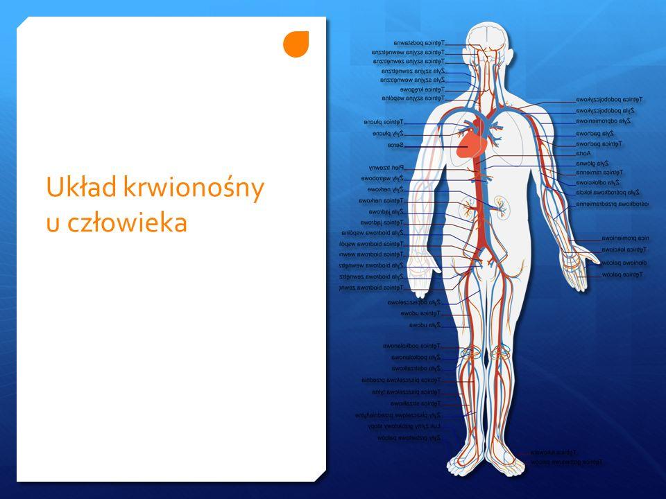Układ krwionośny u człowieka