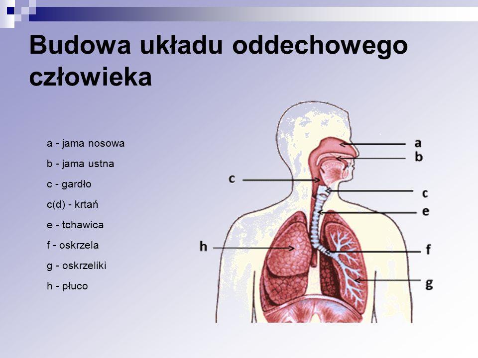 Budowa układu oddechowego człowieka
