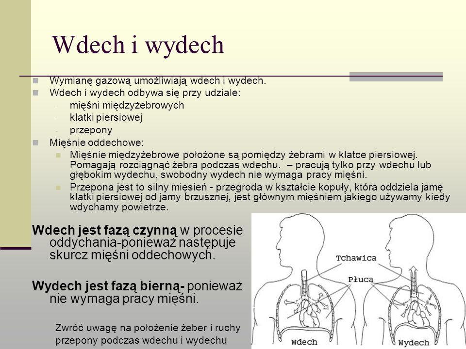 Wdech i wydech Wymianę gazową umożliwiają wdech i wydech. Wdech i wydech odbywa się przy udziale: mięśni międzyżebrowych.