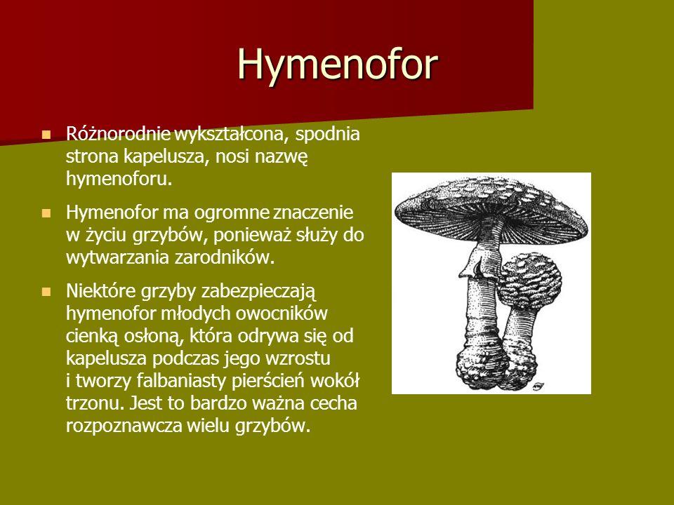 Hymenofor Różnorodnie wykształcona, spodnia strona kapelusza, nosi nazwę hymenoforu.