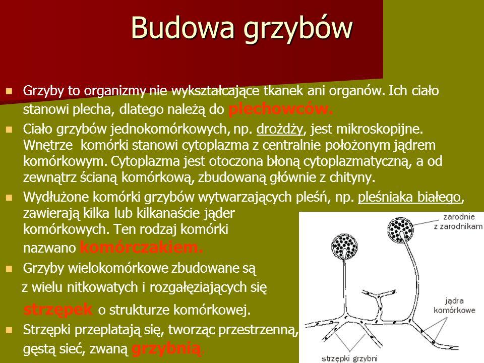 Budowa grzybów strzępek o strukturze komórkowej.