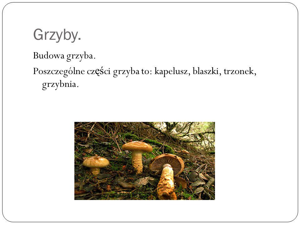 Grzyby. Budowa grzyba. Poszczególne części grzyba to: kapelusz, blaszki, trzonek, grzybnia.