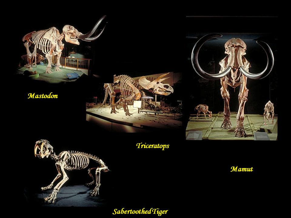 Mastodon Triceratops Mamut Sabertoothed Tiger