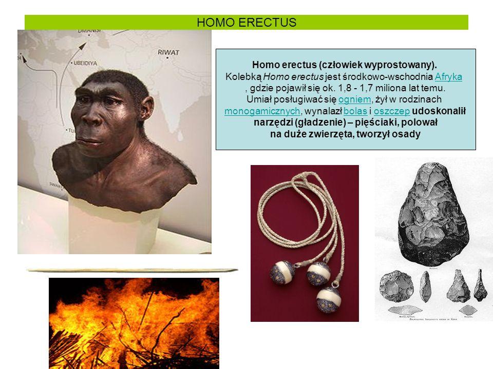 HOMO ERECTUS Homo erectus (człowiek wyprostowany).