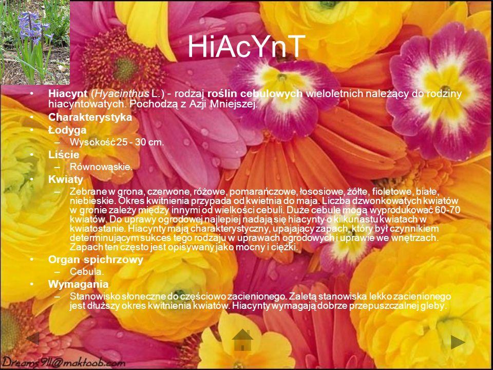 HiAcYnT Hiacynt (Hyacinthus L.) - rodzaj roślin cebulowych wieloletnich należący do rodziny hiacyntowatych. Pochodzą z Azji Mniejszej.