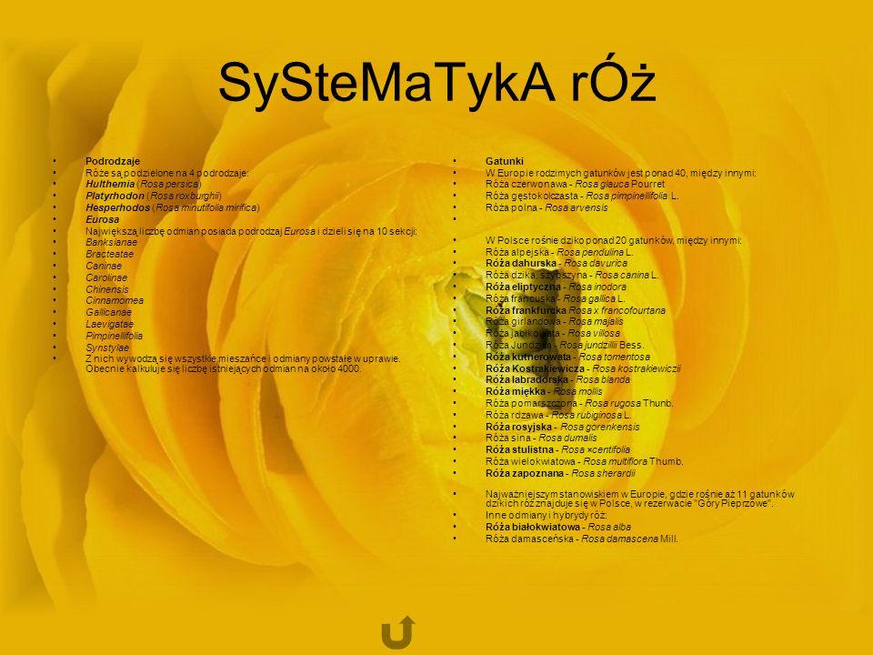 SySteMaTykA rÓż Podrodzaje Róże są podzielone na 4 podrodzaje: