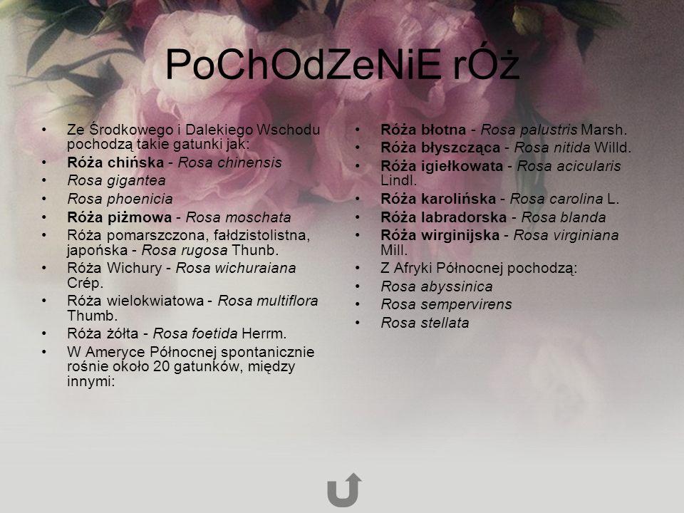 PoChOdZeNiE rÓż Ze Środkowego i Dalekiego Wschodu pochodzą takie gatunki jak: Róża chińska - Rosa chinensis.