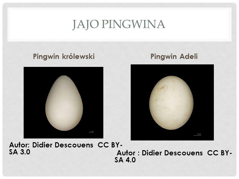 Jajo pingwina Pingwin królewski Pingwin Adeli