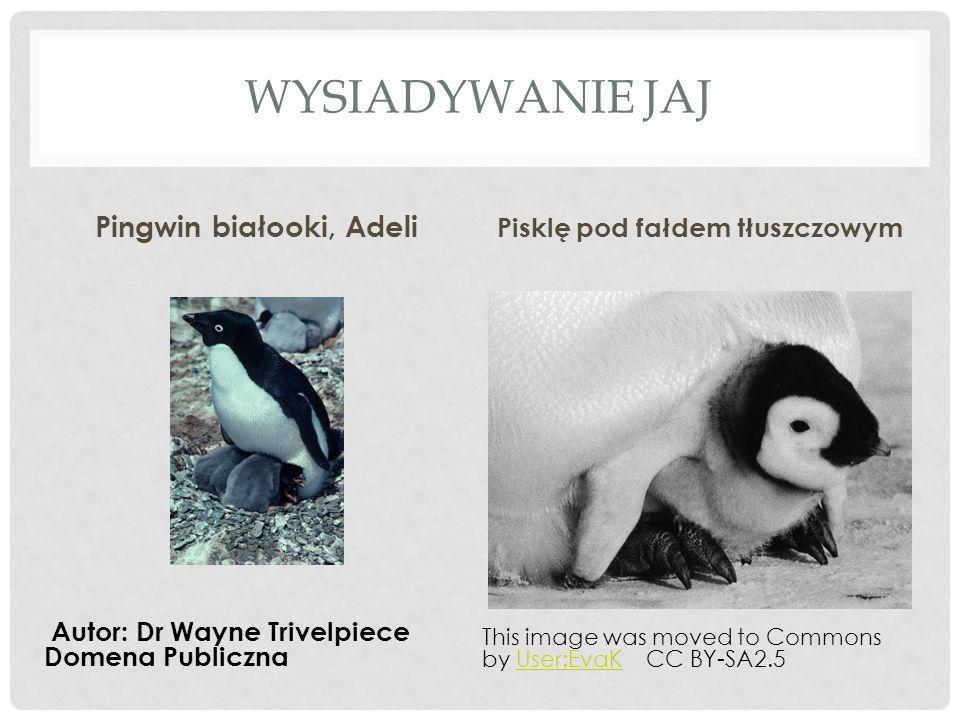 Pingwin białooki, Adeli Pisklę pod fałdem tłuszczowym
