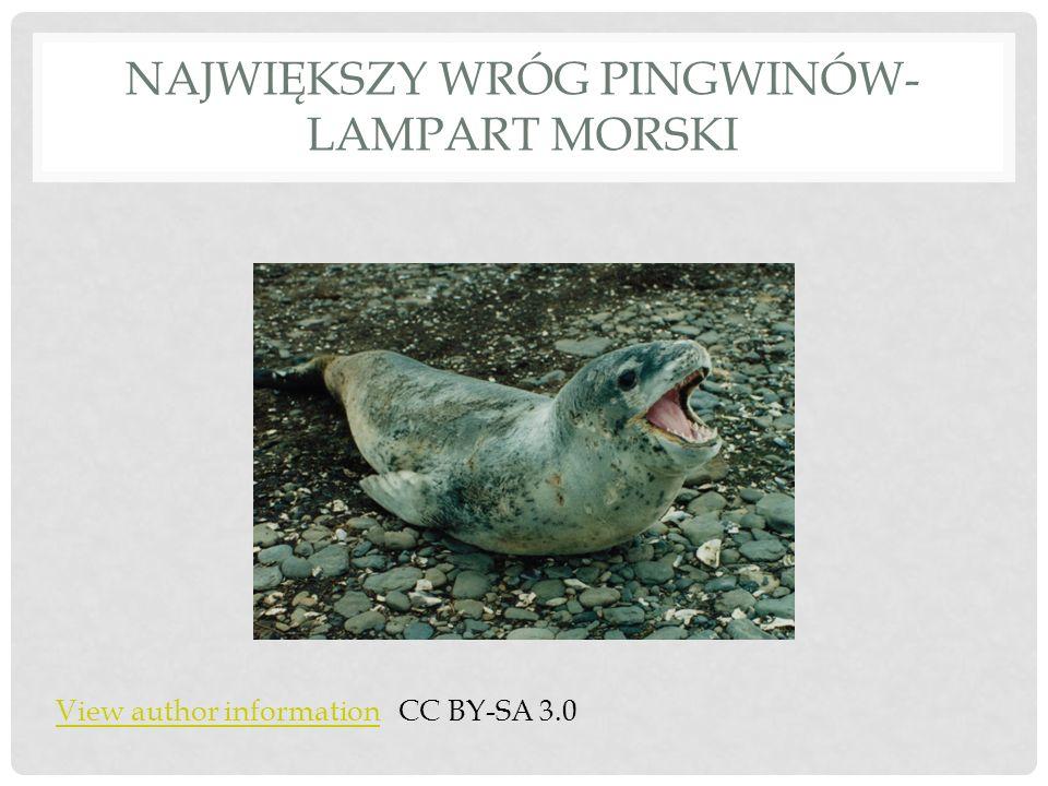 Największy wróg pingwinów- lampart morski