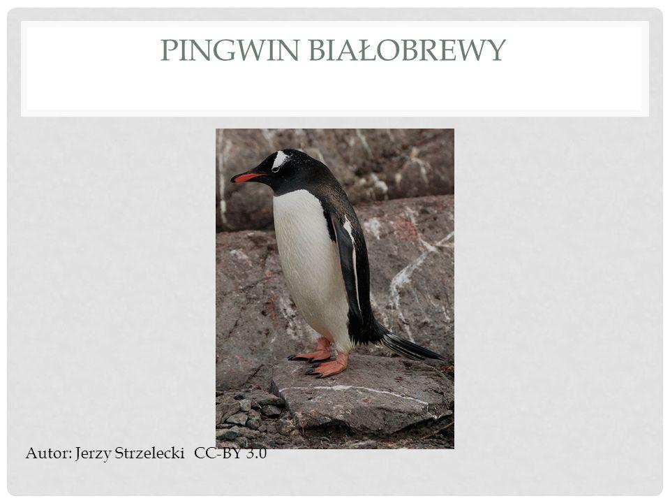 Pingwin białobrewy Autor: Jerzy Strzelecki CC-BY 3.0