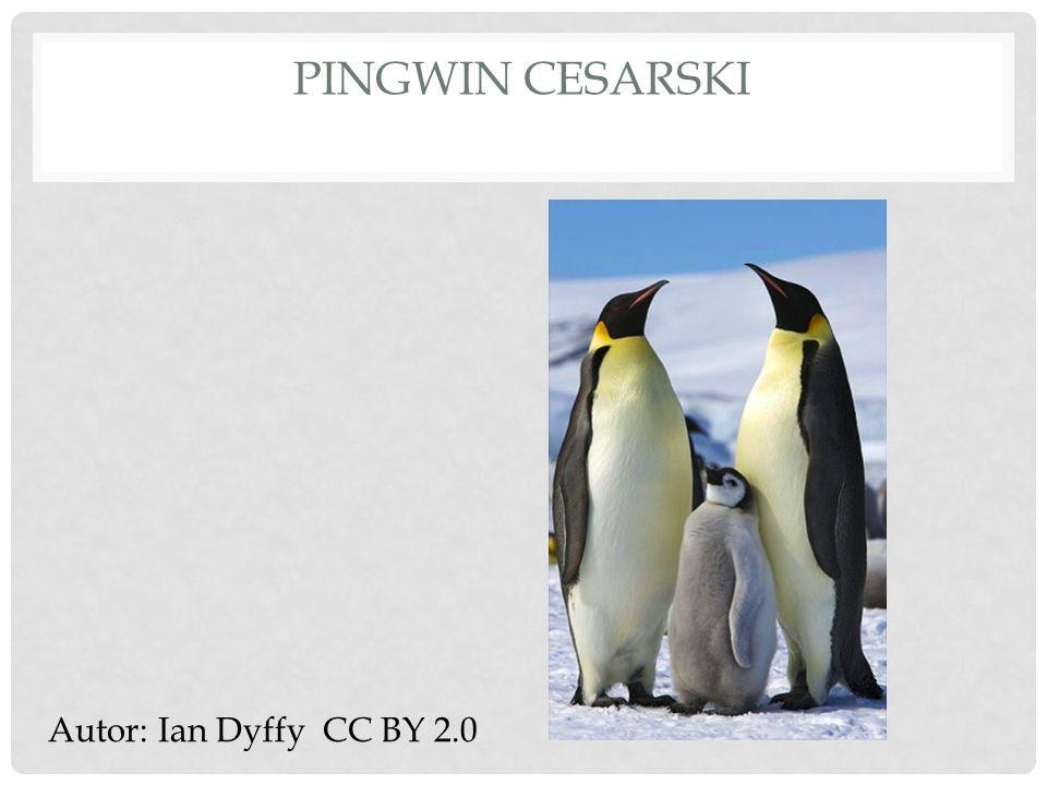 Pingwin cesarski Autor: Ian Dyffy CC BY 2.0