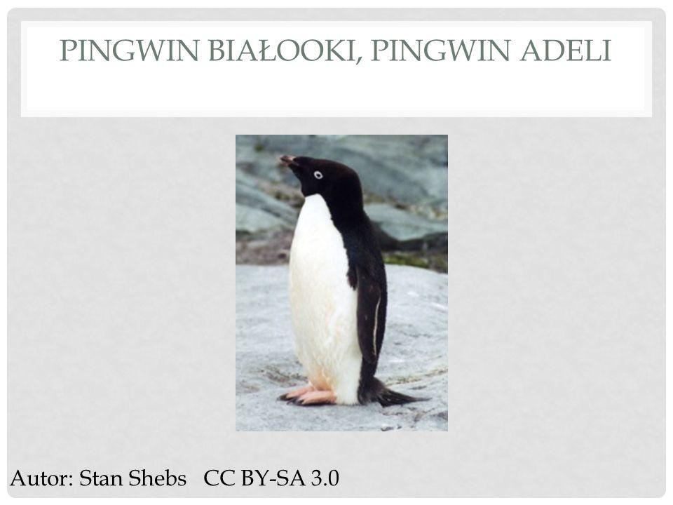 Pingwin białooki, pingwin adeli