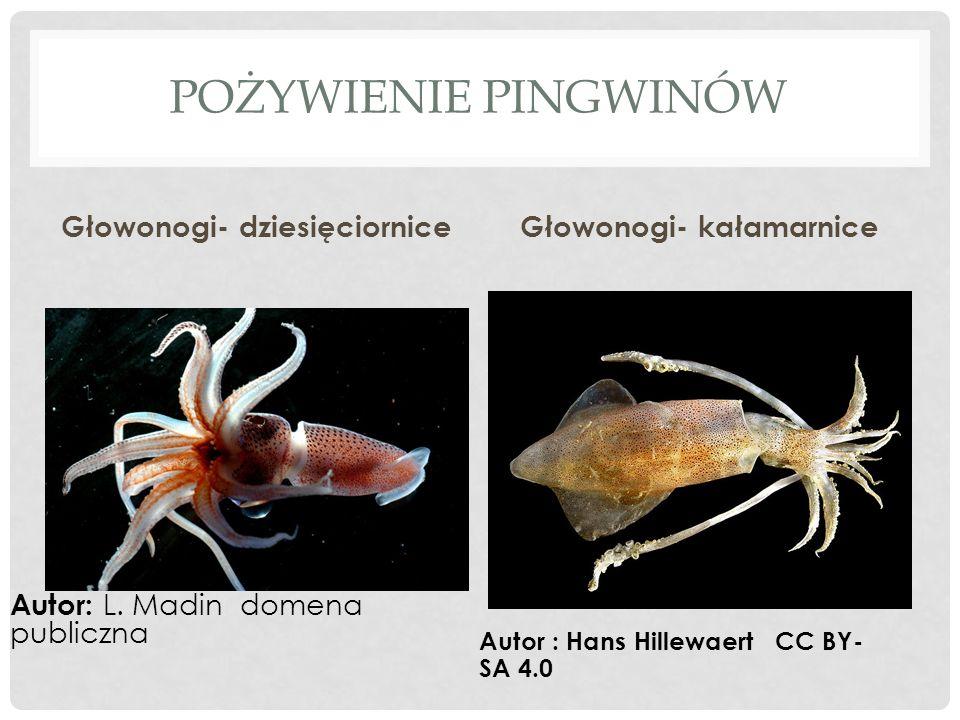 Głowonogi- dziesięciornice Głowonogi- kałamarnice