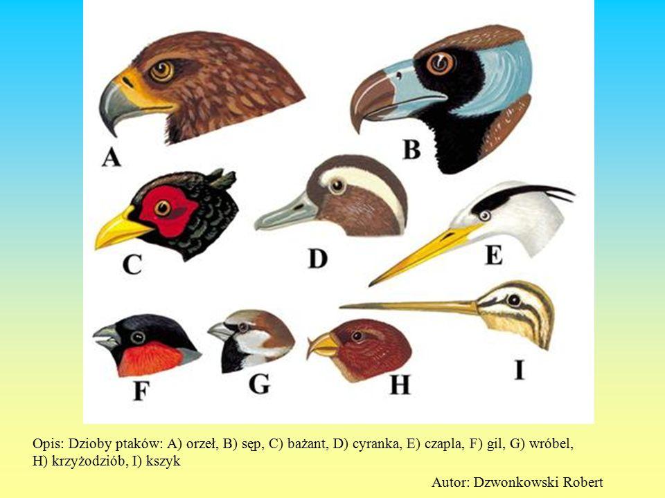 Opis: Dzioby ptaków: A) orzeł, B) sęp, C) bażant, D) cyranka, E) czapla, F) gil, G) wróbel, H) krzyżodziób, I) kszyk