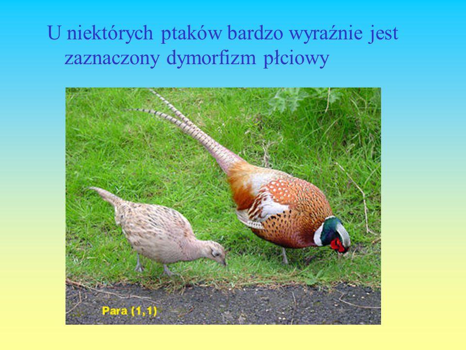 U niektórych ptaków bardzo wyraźnie jest zaznaczony dymorfizm płciowy