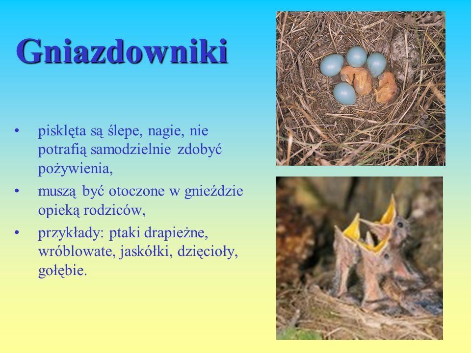 Gniazdowniki pisklęta są ślepe, nagie, nie potrafią samodzielnie zdobyć pożywienia, muszą być otoczone w gnieździe opieką rodziców,