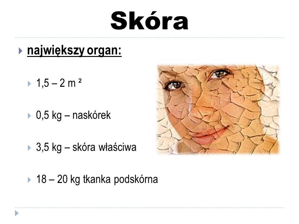 Skóra największy organ: 1,5 – 2 m ² 0,5 kg – naskórek