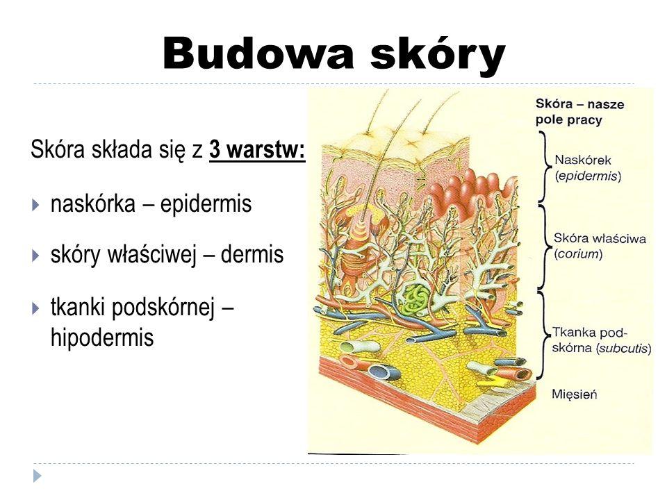 Budowa skóry Skóra składa się z 3 warstw: naskórka – epidermis