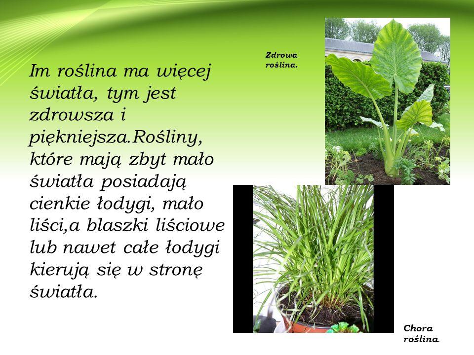 Zdrowa roślina.