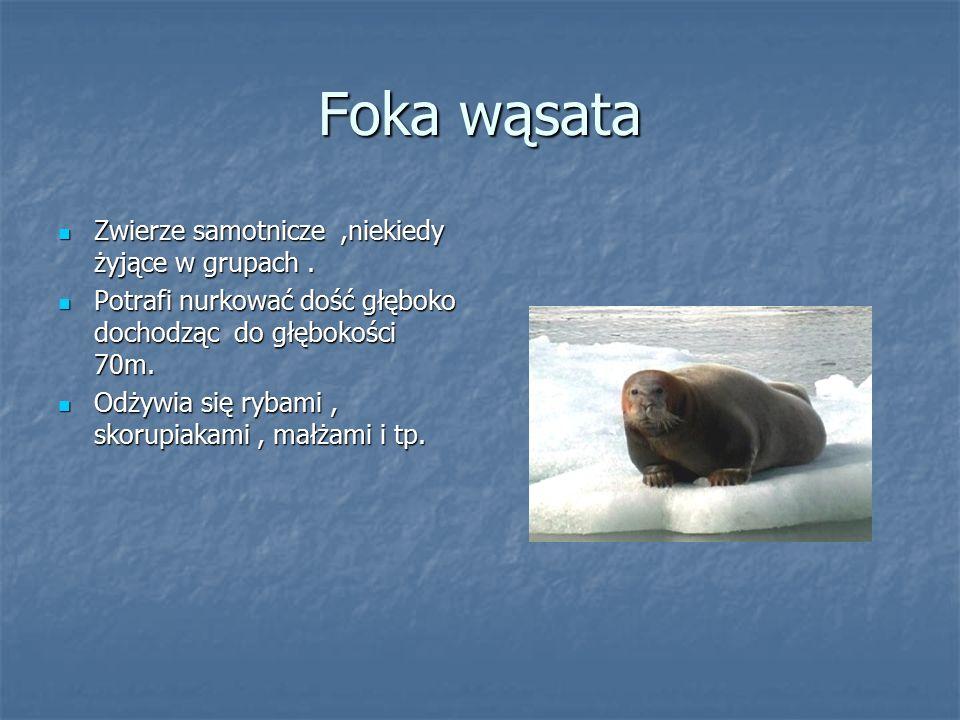 Foka wąsata Zwierze samotnicze ,niekiedy żyjące w grupach .