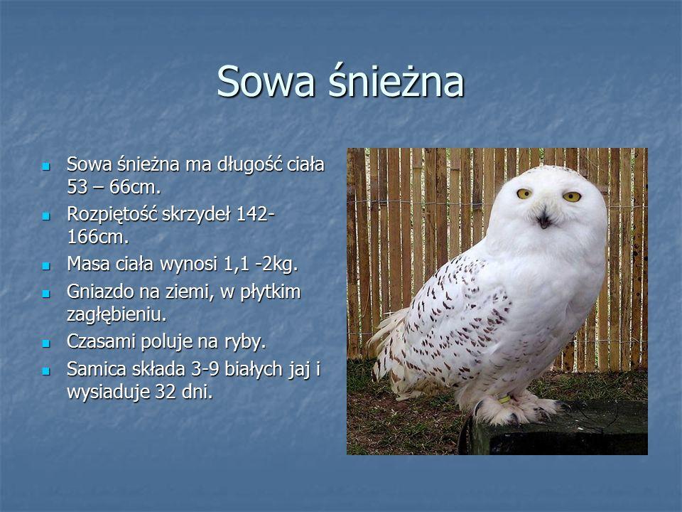 Sowa śnieżna Sowa śnieżna ma długość ciała 53 – 66cm.