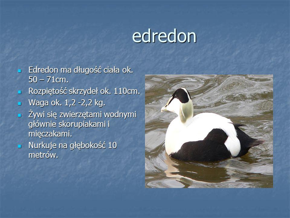 edredon Edredon ma długość ciała ok. 50 – 71cm.