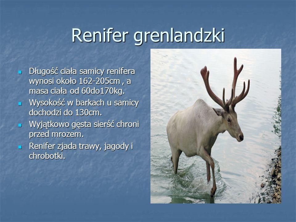 Renifer grenlandzki Długość ciała samicy renifera wynosi około 162-205cm , a masa ciała od 60do170kg.