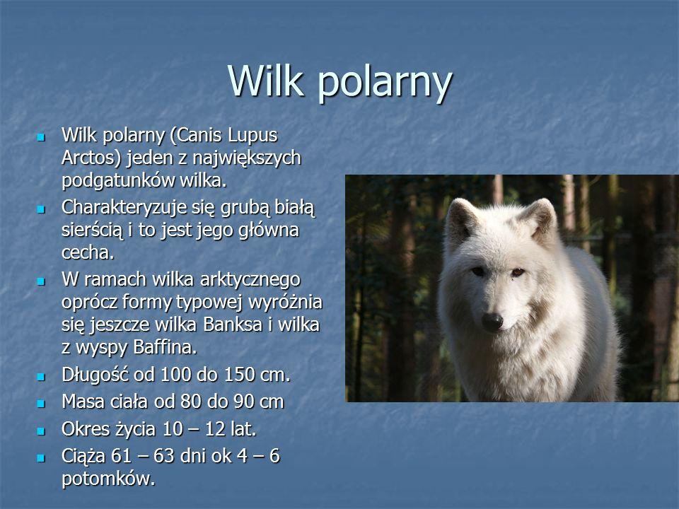 Wilk polarny Wilk polarny (Canis Lupus Arctos) jeden z największych podgatunków wilka.