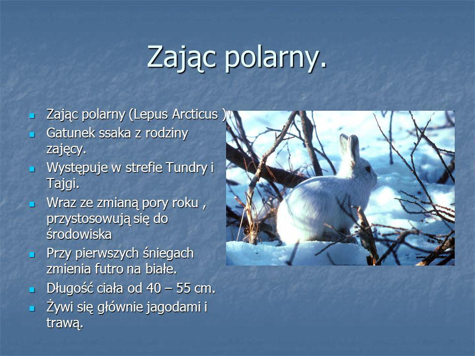 Zając polarny. Zając polarny (Lepus Arcticus )