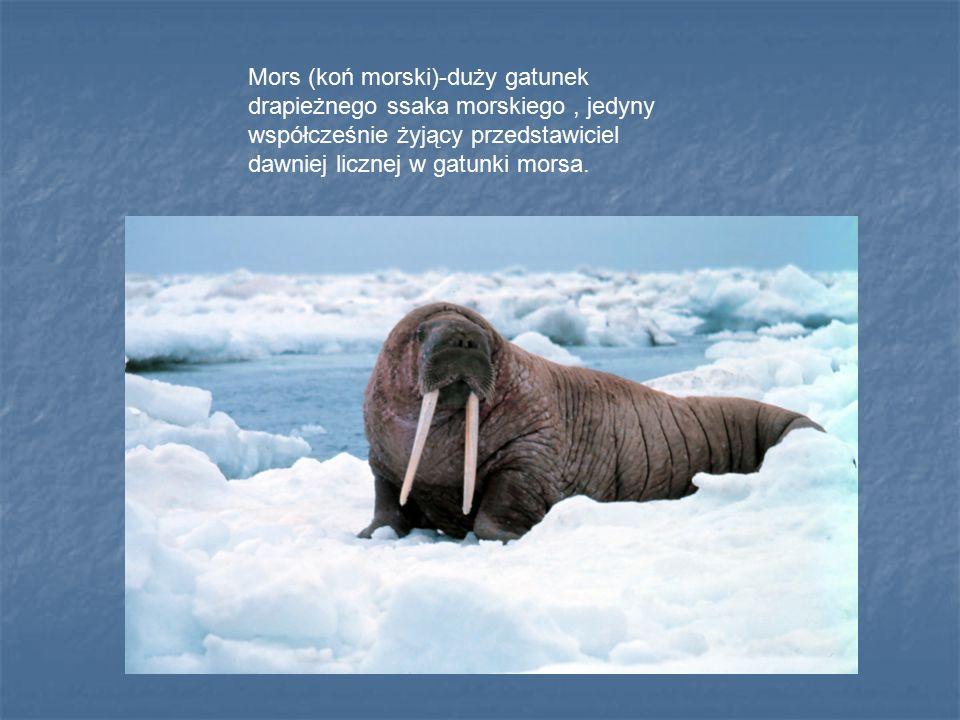 Mors (koń morski)-duży gatunek drapieżnego ssaka morskiego , jedyny współcześnie żyjący przedstawiciel dawniej licznej w gatunki morsa.