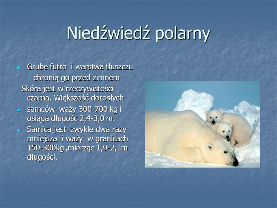 Niedźwiedź polarny Grube futro i warstwa tłuszczu