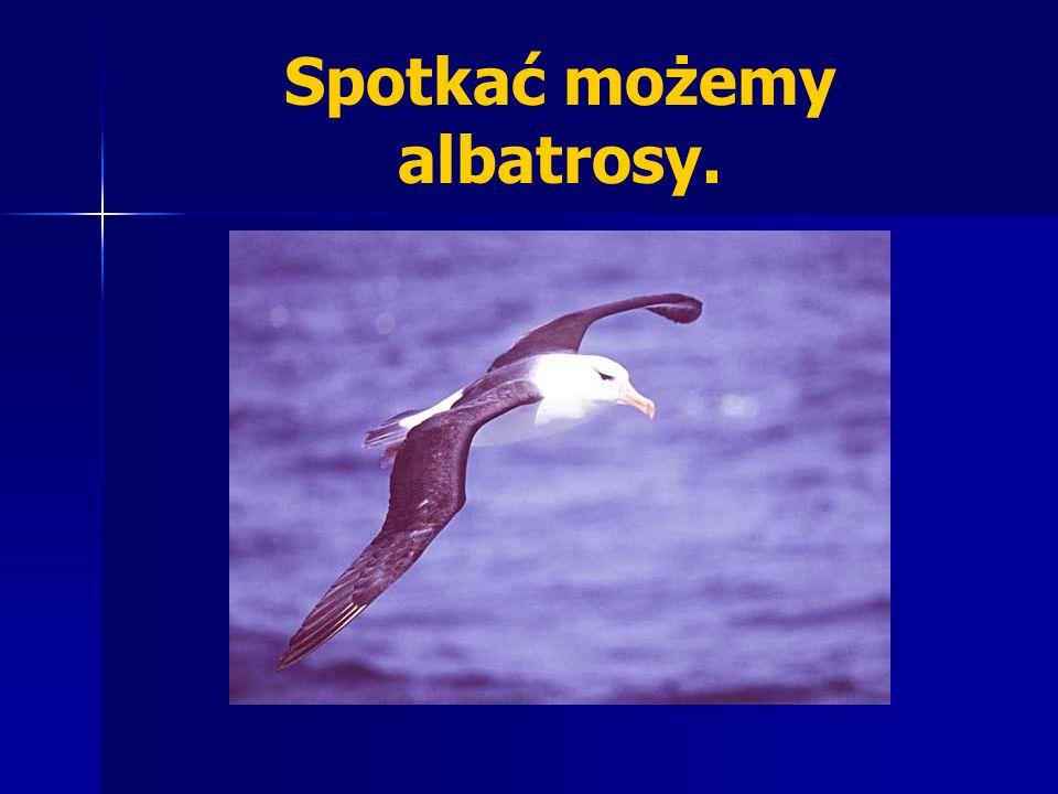 Spotkać możemy albatrosy.