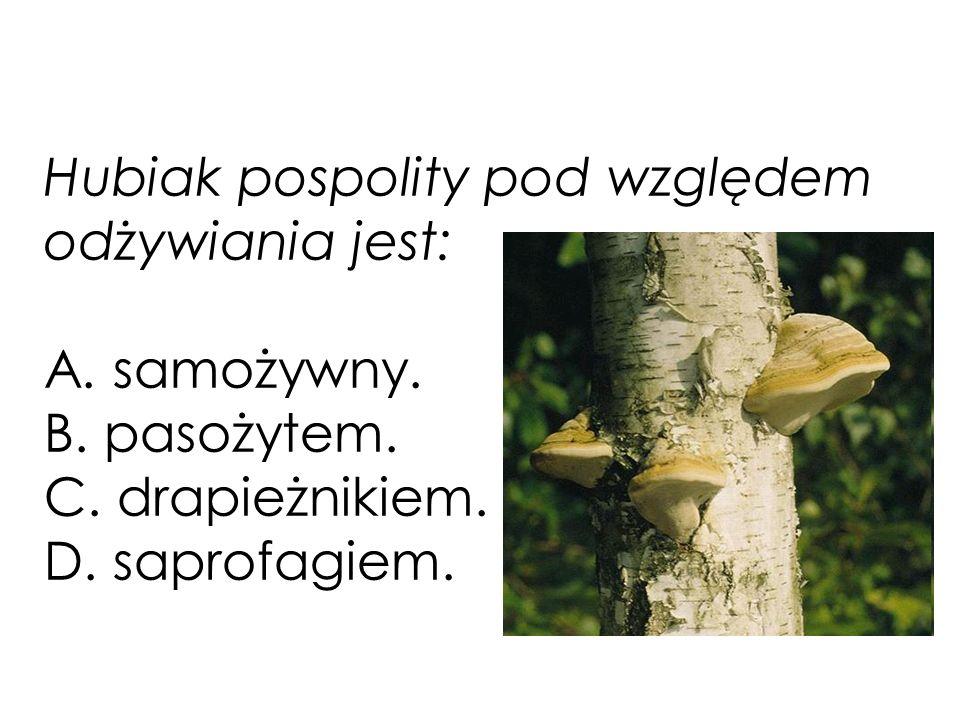 Hubiak pospolity pod względem odżywiania jest: A. samożywny. B