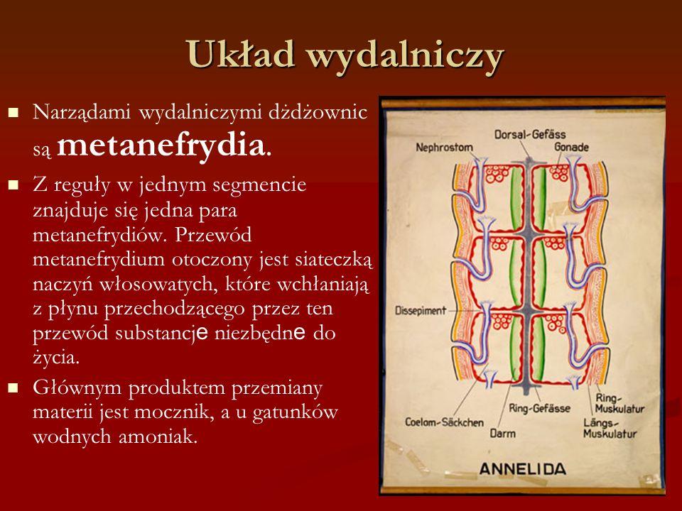 Układ wydalniczy Narządami wydalniczymi dżdżownic są metanefrydia.