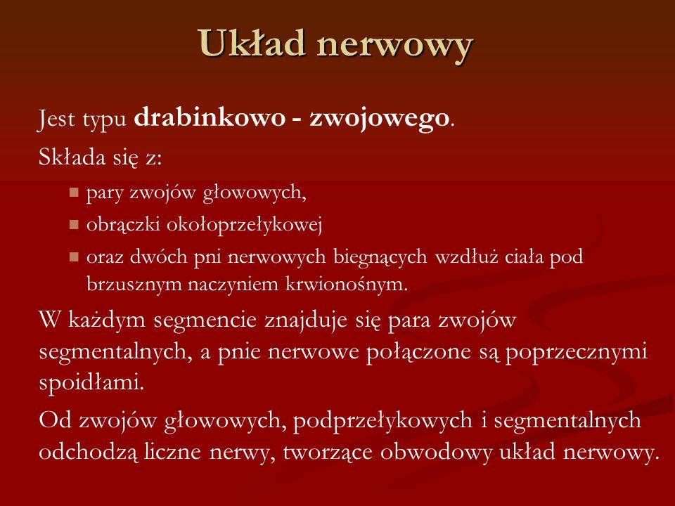 Układ nerwowy Jest typu drabinkowo - zwojowego. Składa się z: