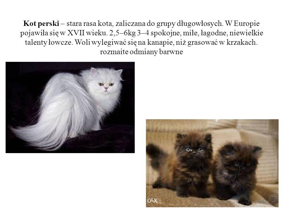 Kot perski – stara rasa kota, zaliczana do grupy długowłosych