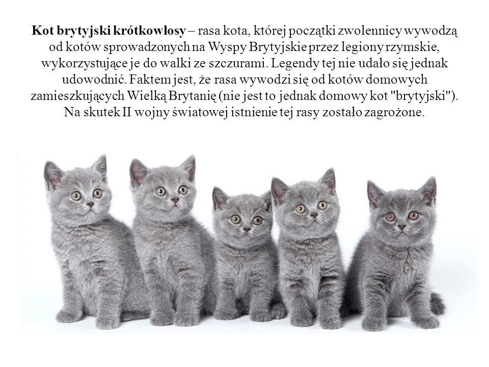 Kot brytyjski krótkowłosy – rasa kota, której początki zwolennicy wywodzą od kotów sprowadzonych na Wyspy Brytyjskie przez legiony rzymskie, wykorzystujące je do walki ze szczurami.