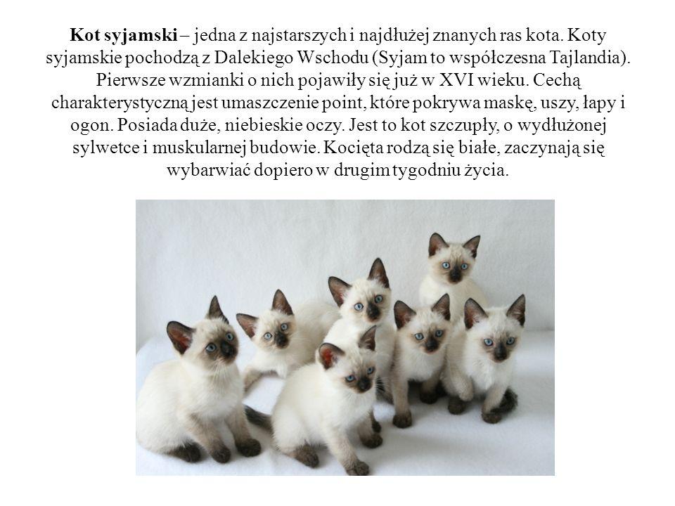 Kot syjamski – jedna z najstarszych i najdłużej znanych ras kota