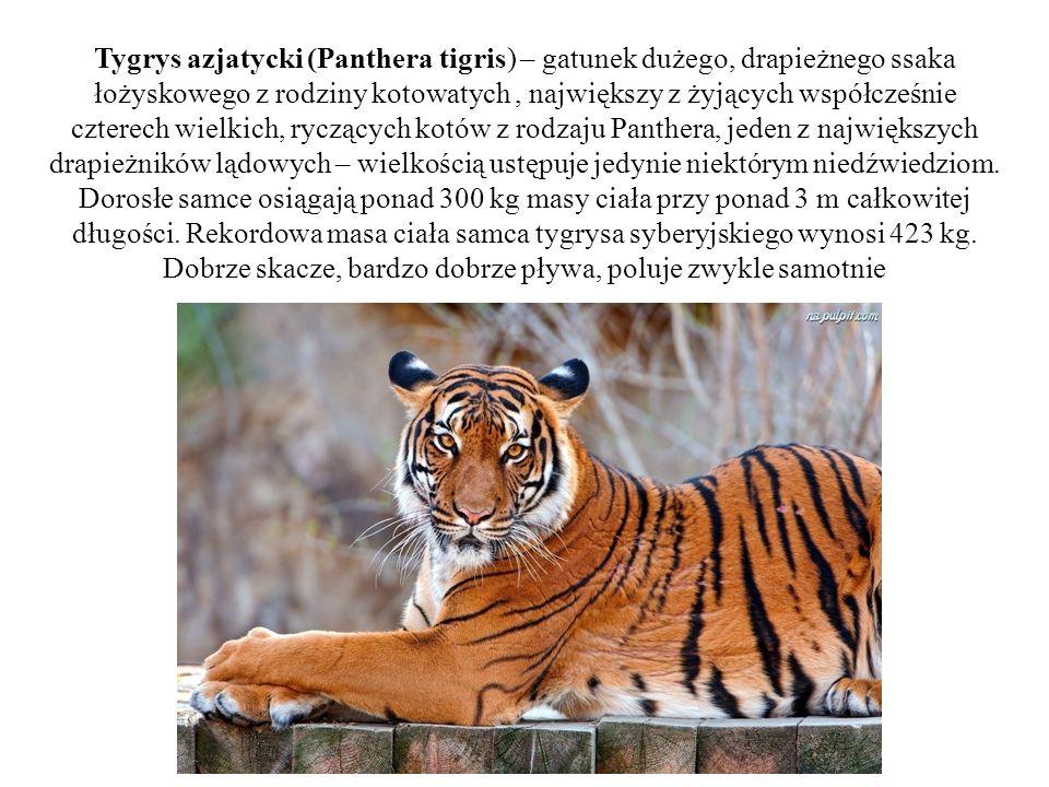 Tygrys azjatycki (Panthera tigris) – gatunek dużego, drapieżnego ssaka łożyskowego z rodziny kotowatych , największy z żyjących współcześnie czterech wielkich, ryczących kotów z rodzaju Panthera, jeden z największych drapieżników lądowych – wielkością ustępuje jedynie niektórym niedźwiedziom.